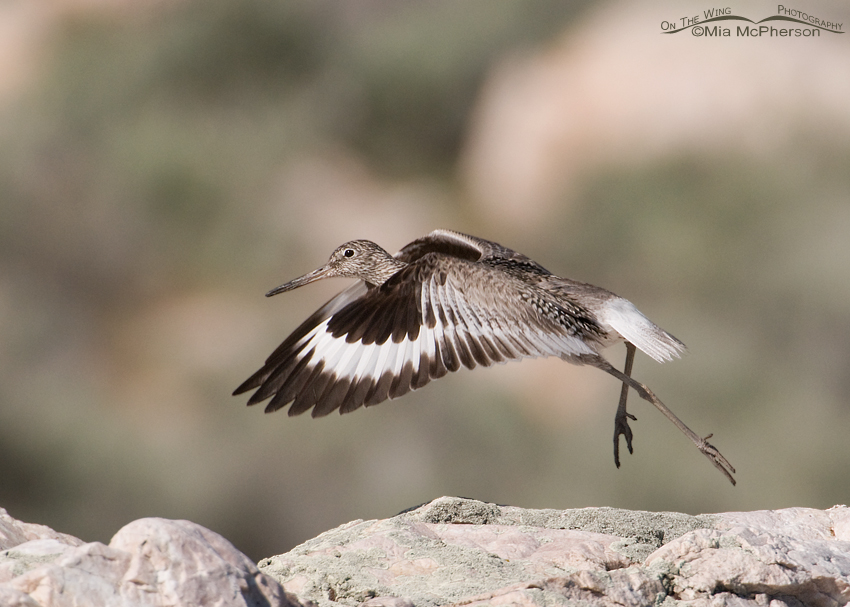 Willet - Run and lift off