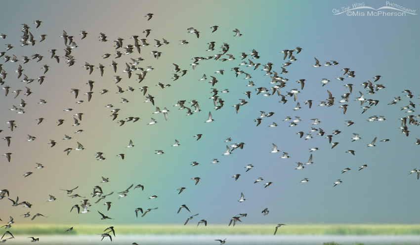 Wilson's Phalaropes in flight in front of a rainbow