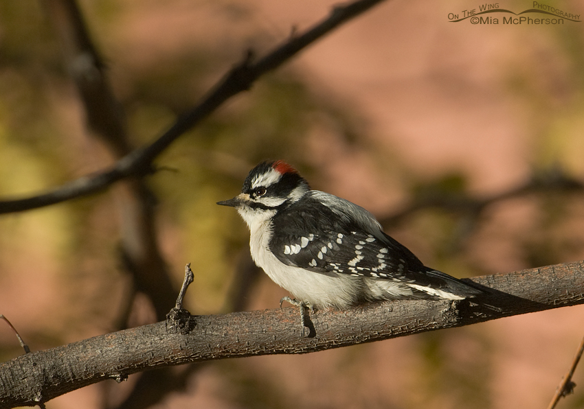 Male Downy Woodpecker - A primary cavity nester - Capitol Reef National Park, Utah