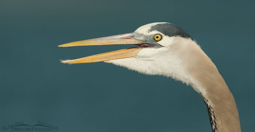 Calling adult Great Blue Heron portrait