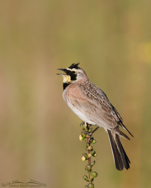 Male Horned Lark singing on a Moth Mullein stem