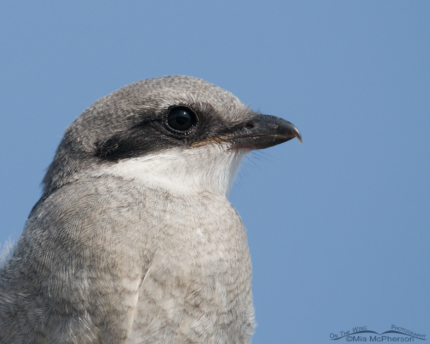 Juvenile Loggerhead Shrike close up
