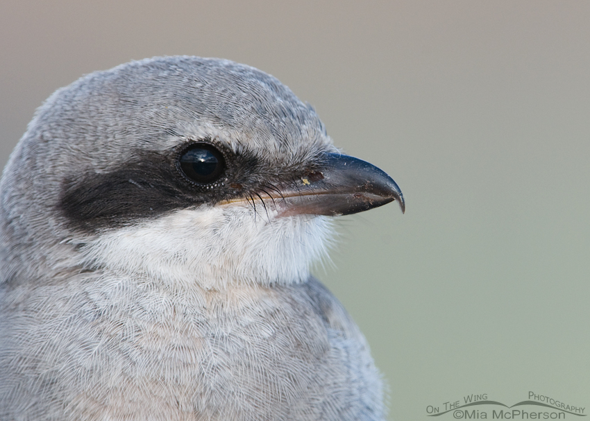 Another fledgling Loggerhead Shrike portrait