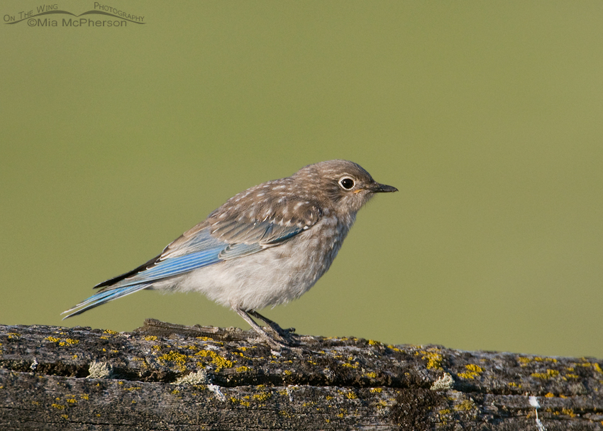 Mountain Bluebird juvenile in Montana