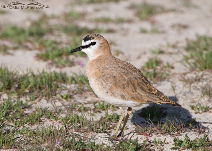 Male Mountain Plover in a sandy location