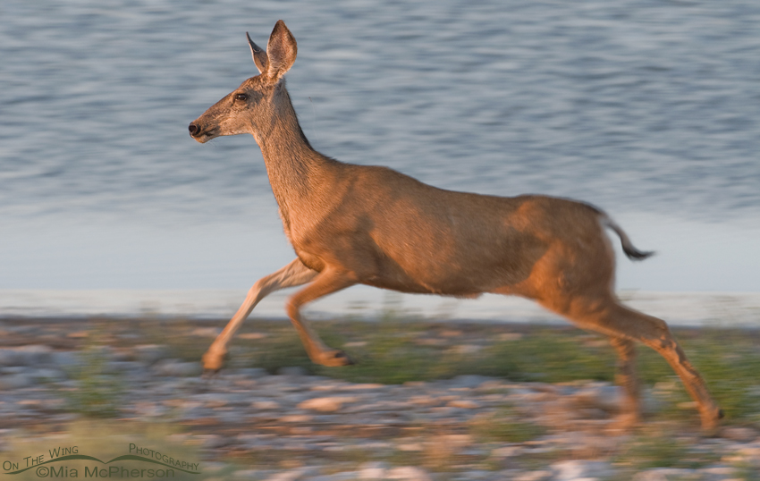 Mule Deer doe blur