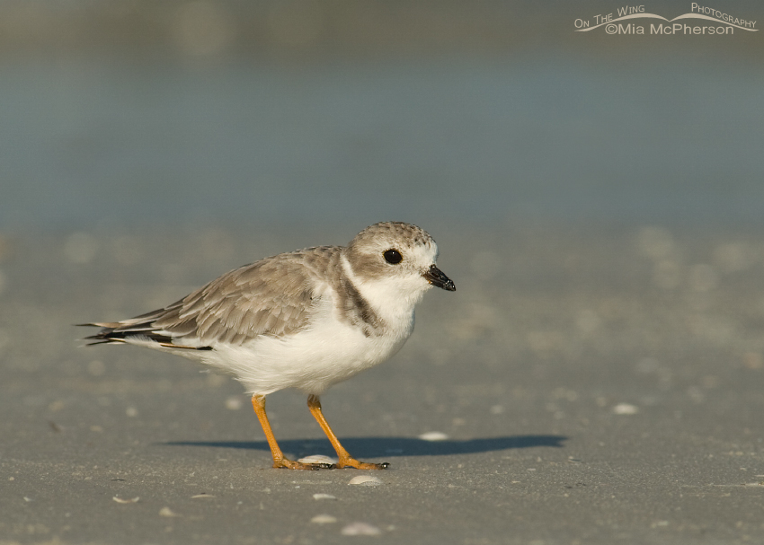 Curious Piping Plover