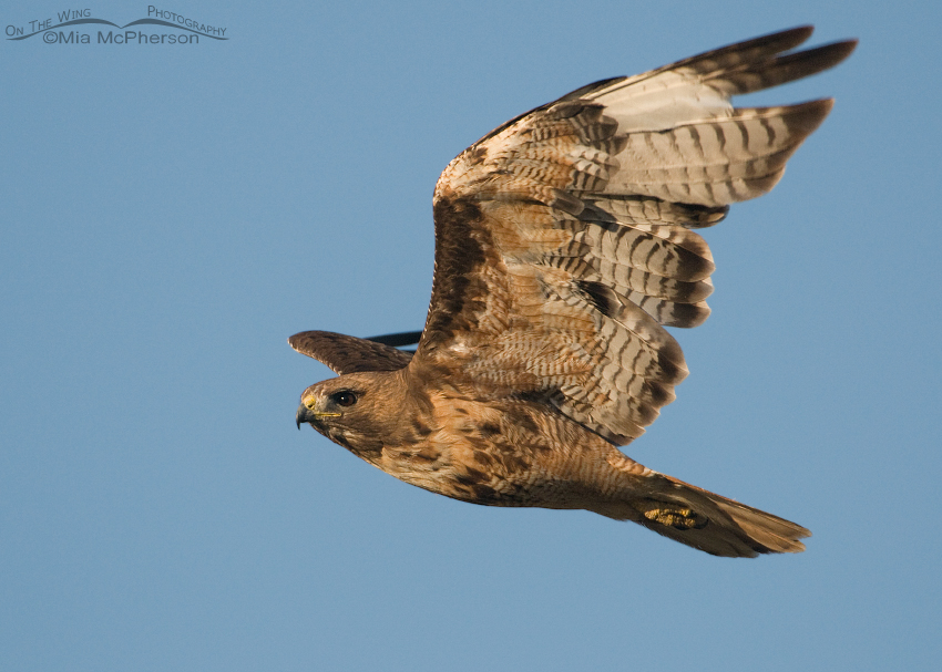 Adult Red-tailed Hawk close up fly by