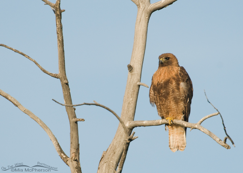 Adult Red-tailed Hawk perched in an old dead tree