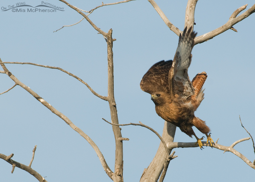 Adult Red-tailed Hawk lifting off