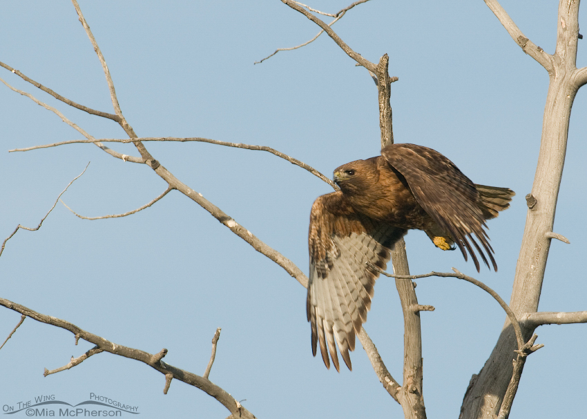 Downward sweep of the Red-tail's wings