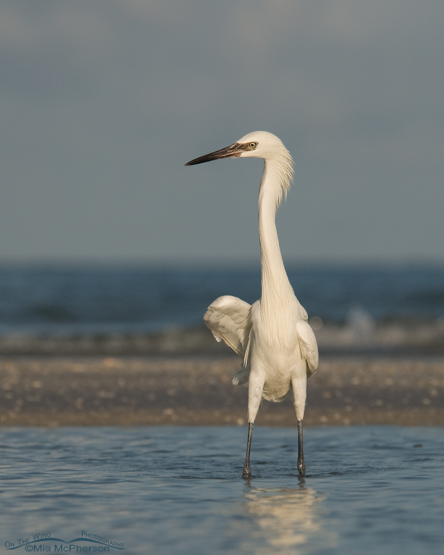 White Morph Reddish Egret before the storm