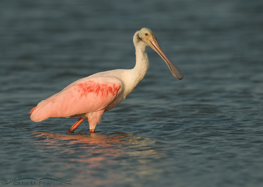 Adult Roseate Spoonbill in afternoon light