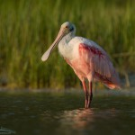 Roseate Spoonbill in the light of the setting sun