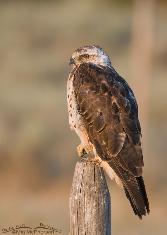 Sub-adult Swainson's Hawk