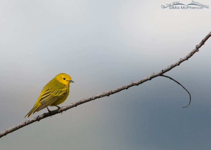 Yellow Warbler - Small in the Frame