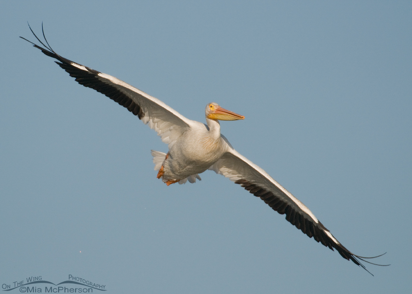 American White Pelican showing the nearly 9 foot wingspan