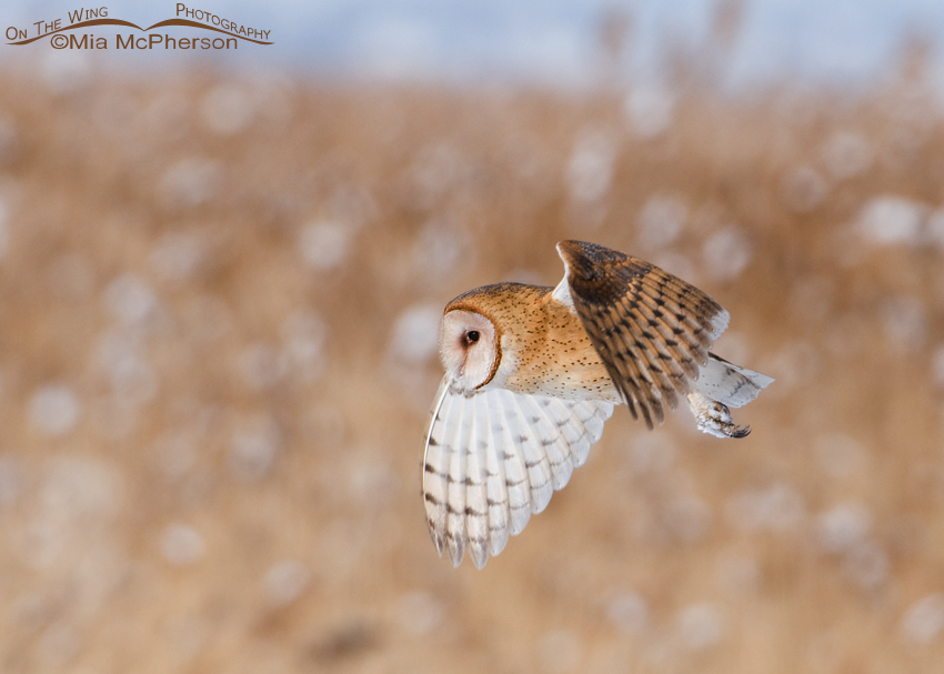 Utah Barn Owl in flight