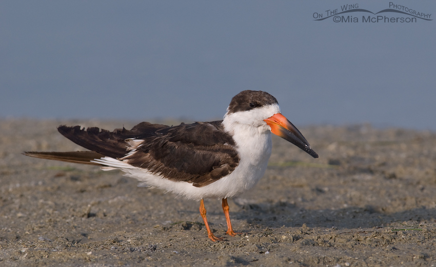 Black Skimmer in nonbreeding plumage