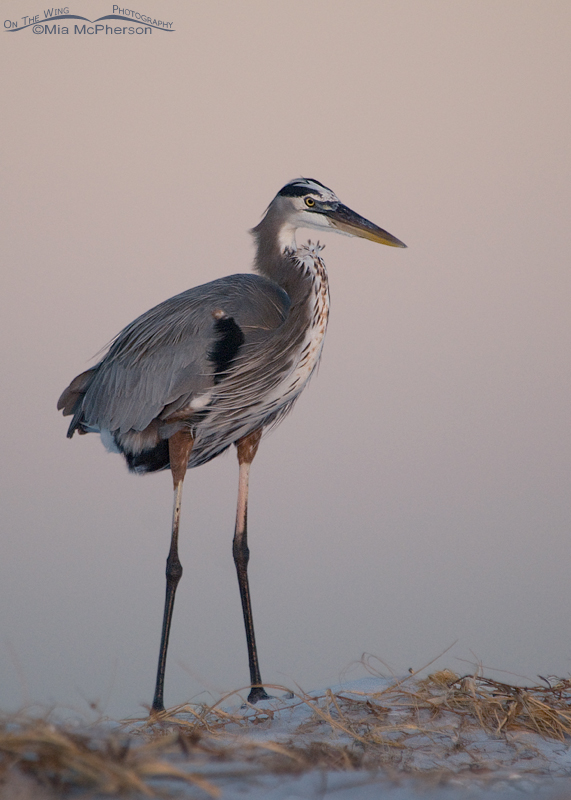 Great Blue Heron just prior to sunrise
