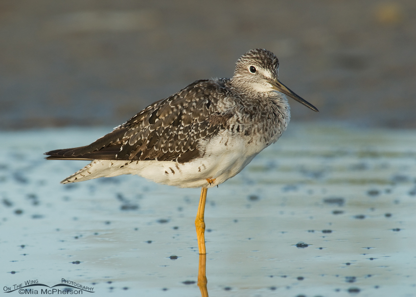 Greater Yellowlegs at sunrise