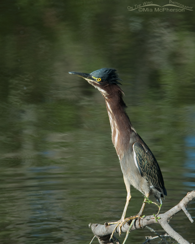 A very alert Green Heron