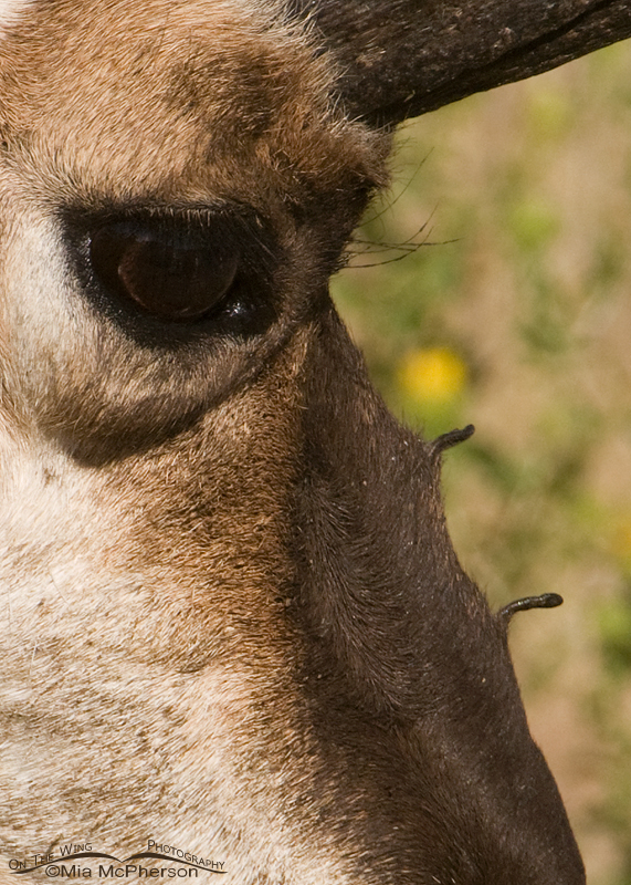 Close up image of a Pronghorn buck showing the extra horns on its muzzle