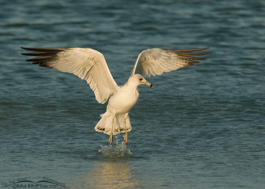 Ring-billed Gull lifting off from the Gulf of Mexico