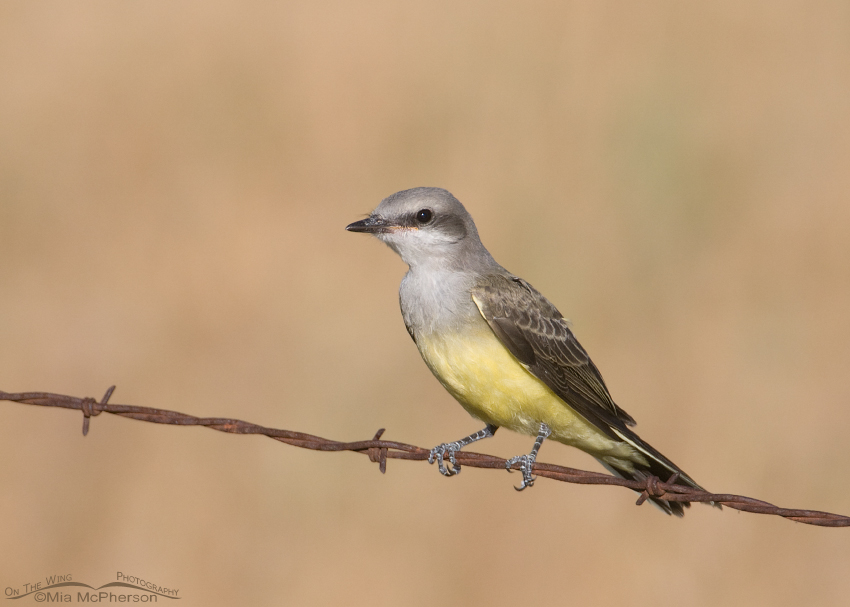 Juvenile Western Kingbird on a wire