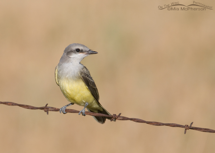 Western Kingbird juvenile on a barbed wire perch