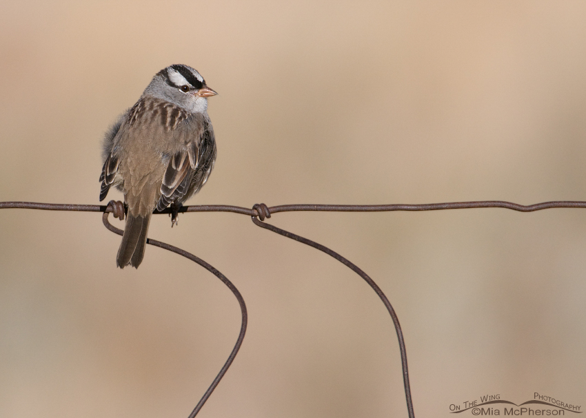 Adult White-crowned Sparrow on a wire fence