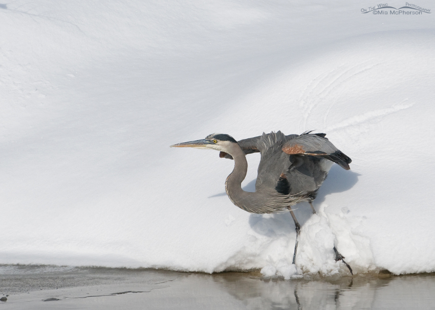 Great Blue Heron crouching for lift off