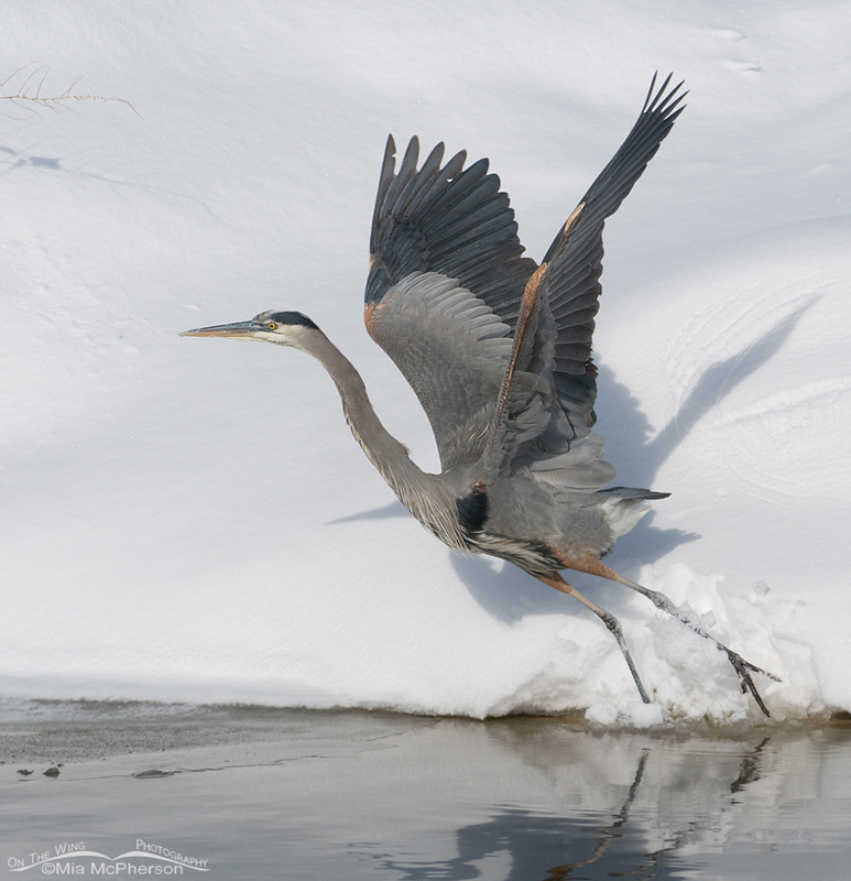 Great Blue Heron with wings up and flying snow