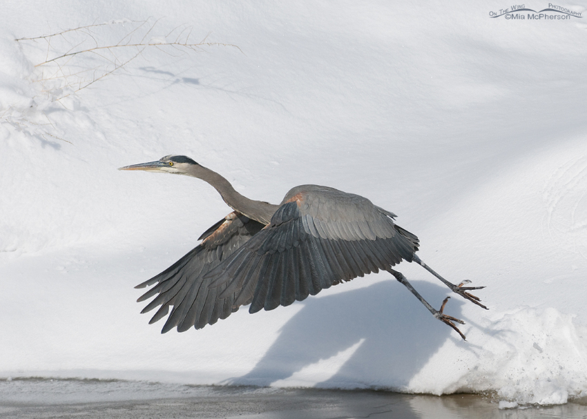 Great Blue Heron lifting off from the snow