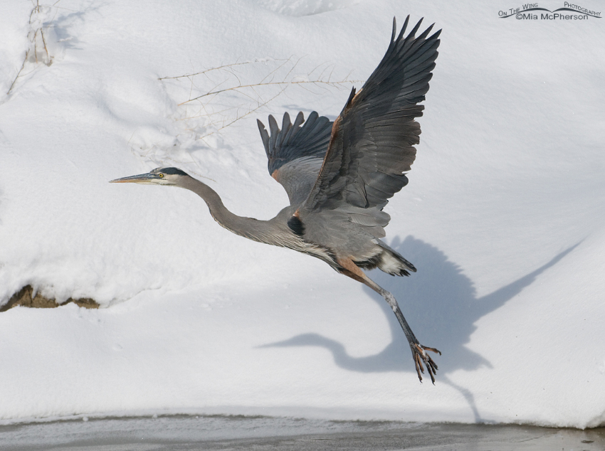 The Great Blue Heron and its shadow on the snow