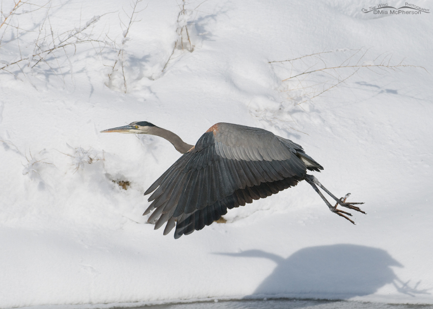 Great Blue Heron in flight over the icy covered creek