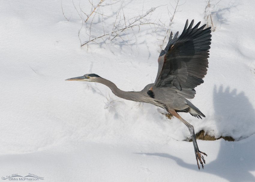 A snow covered hill and a Great Blue Heron