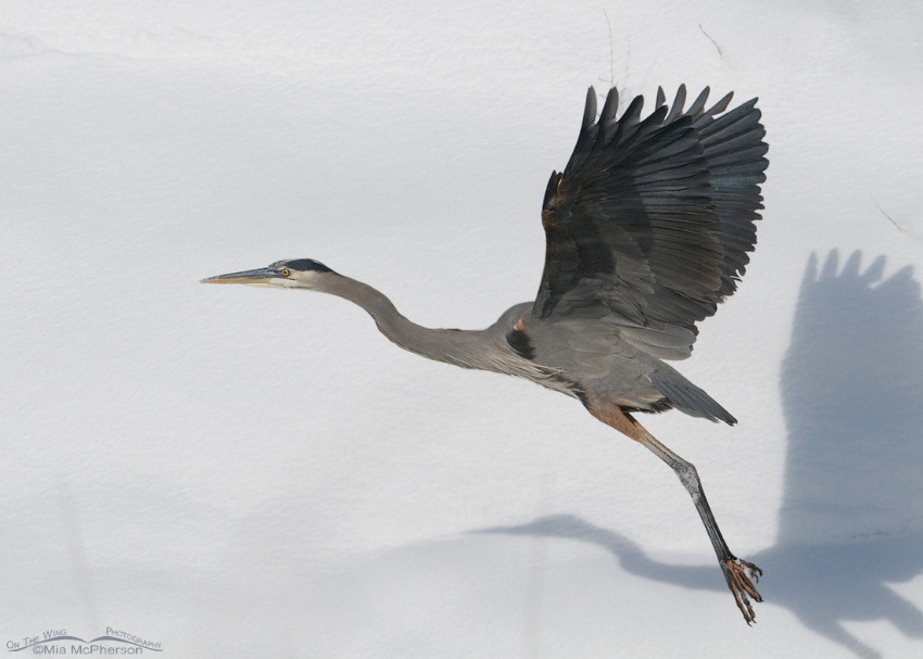 A snowy canvas and a Great Blue Heron