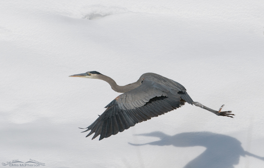 Great Blue Heron flying over the snow