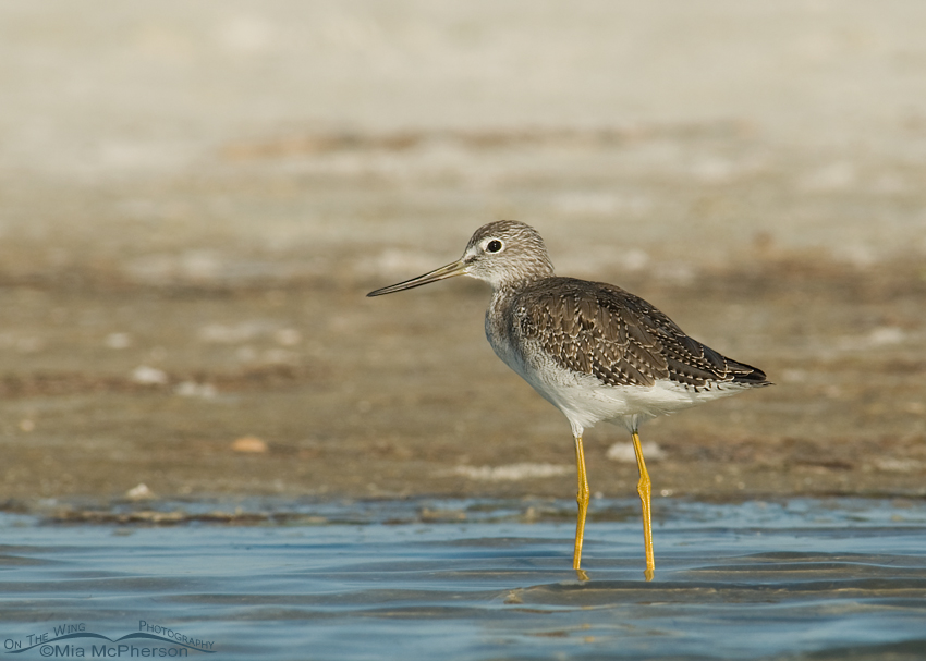Greater Yellowlegs in a tidal lagoon