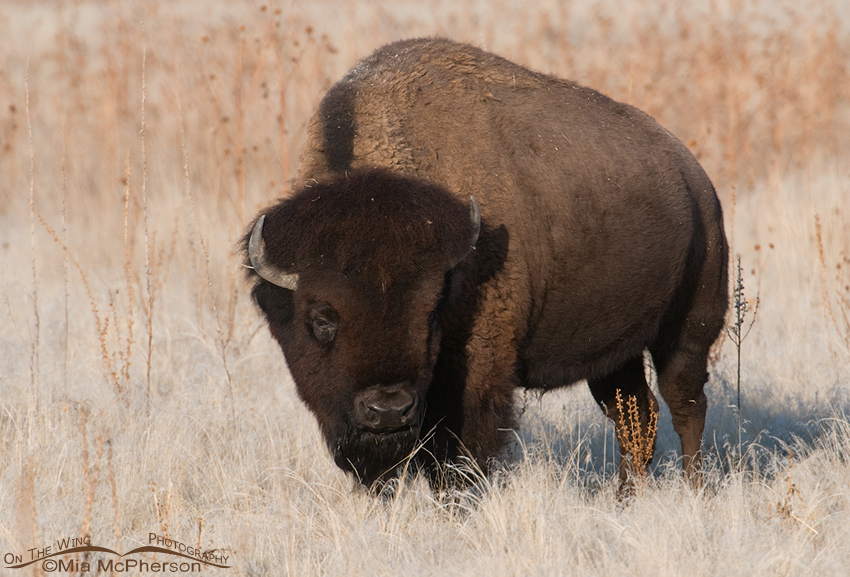 Bison bull grazing in winter grasses