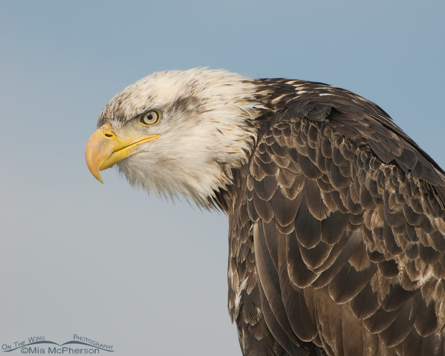 Four year old Bald Eagle up close