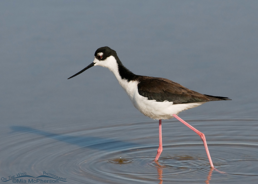 Black-necked Stilt in shallow water