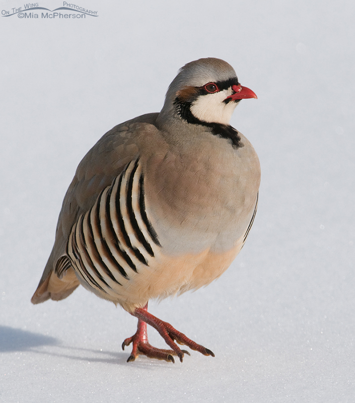 Close up Chukar in the snow