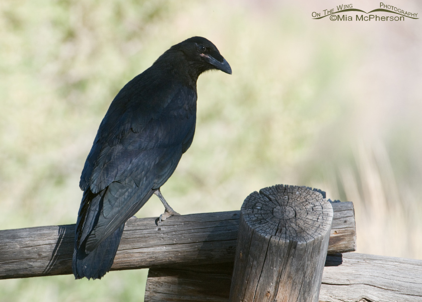 Juvenile Common Raven back view