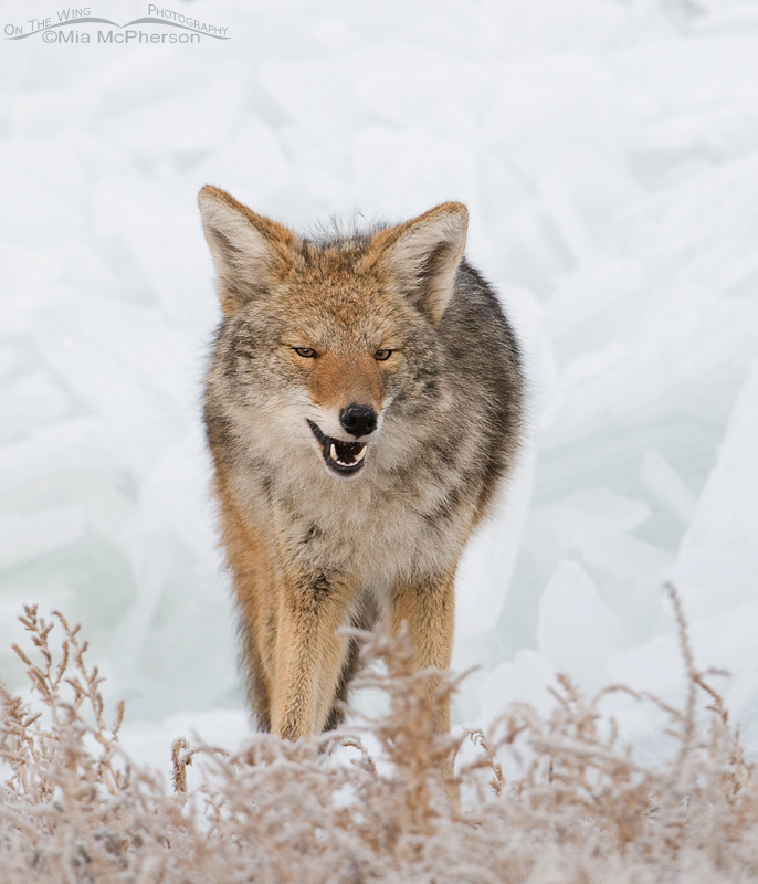 Coyote on the ice covered shore of the Great Salt Lake
