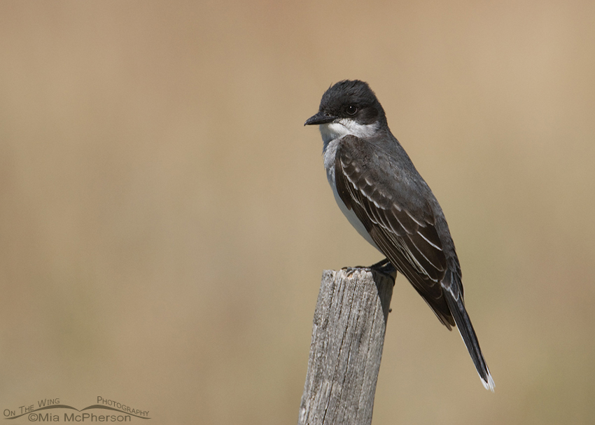 Eastern Kingbird perched on an old fencepost