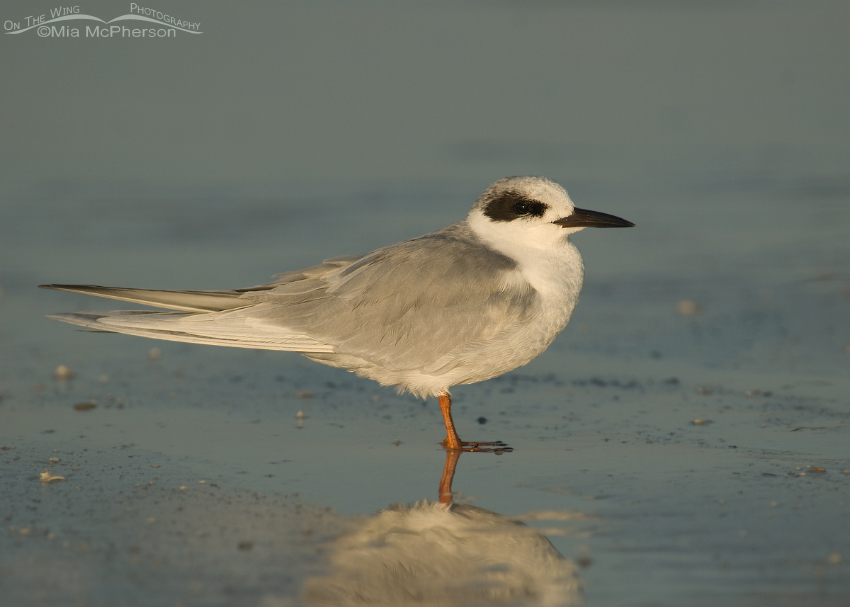 Nonbreeding Forster's Tern on the Gulf coast
