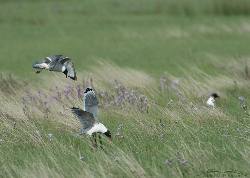 Franklin's Gulls foraging in Montana