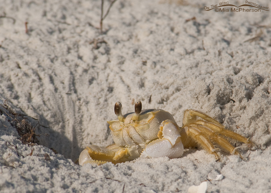 Ghost Crab in burrow
